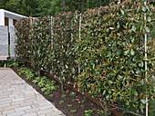 Spalier aus Photinia villosa (Glanzmispel) als Sichtschutz