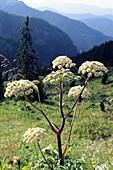 Wald-Engelwurz, Angelica sylvestris, Alpen, Österreich / Angelica sylvestris, Alps, Austria