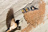 Rauchschwalbe am Nest, Fütterung, Hirundo rustica, Griechenland / Swallow at nest, Hirundo rustica, Greece, Europe
