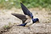 Rauchschwalbe im Flug mit Nestmaterial, Hirundo rustica, Deutschland / Swallow in flight over flowering meadow, Hirundo rustica, Germany, Europe