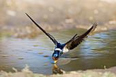Rauchschwalbe trinkt im Flug, Hirundo rustica (digital verändert) / Swallow drinking in flight, Hirundo rustica, Europe (digitally enhanced)