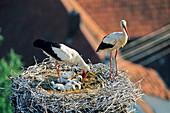 Weißstörche mit Jungen im Nest, Ciconia ciconia, Deutschland / White Storks with chicks in nest, Ciconia ciconia, Germany