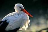 Weißstorch, Ciconia ciconia, Europa / White Stork, Ciconia ciconia, Europe