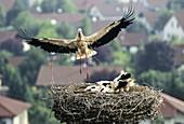 Weißstorch landet mit Zweig im Schnabel am Nest, Ciconia ciconia, Deutschland / White Stork with chicks in nest, Ciconia ciconia, Germany