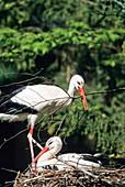 Weißstörche mit Nistmaterial auf dem Nest, Ciconia ciconia, Europa / White Storks on the nest with nesting material, Ciconia ciconia, Europe