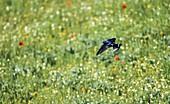 Rauchschwalbe im Flug über blühender Wiese, Hirundo rustica, Deutschland / Swallow in flight over flowering meadow, Hirundo rustica, Germany, Europe