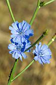 Gemeine Wegwarte blühend, Griechenland flower, Greece , Cichorium intybus