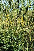 Gemeiner Odermennig, Agrimonia eupatoria, Deutschland