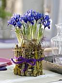 Iris reticulata (Netziris), Glas mit flechtenbewachsenen Ästen eingebunden