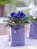 Saintpaulia ionantha (Usambaraveilchen) in Tüten aus violetten Papier