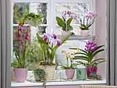 Orchideenfenster mit Cattleya trianae , Phalaenopsis 'Table Dance'