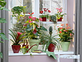 Rotes Fenster mit Anthurium andreanum 'Vito' 'Amalia Orange'