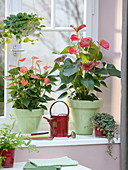 Anthurium andreanum 'Vito' 'Amalia Orange' (Flamingoblumen), Pilea
