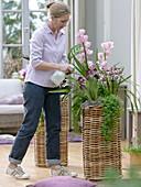 Hohe Körbe mit Orchideen und Korbmarante bepflanzt