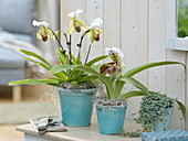 Paphiopedilum 'Leeanum Sitta' , 'Amerika' - Hybr. (Frauenschuh - Orchideen)