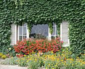 Beet an der Hauswand mit Pelargonium peltatum (Hängenden Geranien)