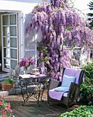 Wisteria sinensis (Blauregen) an der Hauswand, Tisch und Korbstuhl