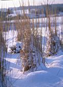 Calamagrostis / Reitgras im Schnee