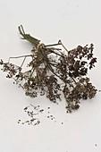 Samen von Fenchel (Foeniculum vulgare) trocknen