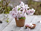 Blühende Zweige von Prunus dulcis (Mandel) in Terracotta - Vase