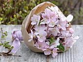 Blühende Zweige von Prunus dulcis (Mandel)