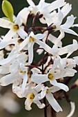Abeliophyllum distichum (Schneeforsythie)
