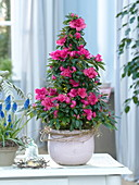 Rhododendron simsii (Zimmerazaleen), Muscari 'Big Smile'