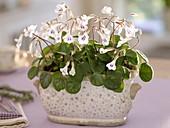 Chirita tamiana 'Maysie' in Keramik-Jardiniere