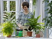 Frau topft Asplenium nidus (Nestfarn) um
