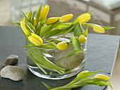 Tulipa 'Strong Gold' (Tulpen) kreisförmig