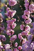 Blüten von Prunus triloba (Mandelbäumchen)