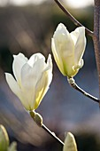 Magnolia denudata 'Golden Dream' (Gelbblühende Magnolie)