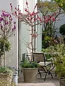 Prunus persica 'Melred' (Zierpfirsich), Magnolia 'Susan' (Magnolie)