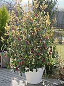 Photinia x fraseri 'Red Robin' (Glanzmispel) mit frischem Austrieb im Frühling