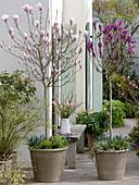 Magnolia 'Soulangeana' 'Susan' (Magnolien - Stämmchen), unterpflanzt