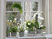Orchideenfenster mit Phalaenopsis 'Rainbow White', Paphiopedilum 'Maudiae'