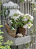 Zweige von Malus (Apfel) in Korb-Vase auf Wandbord