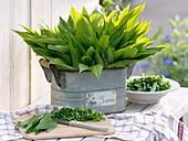 Frisch geernteter Bärlauch (Allium ursinum) in Blech-Jardiniere