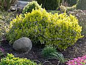Euonymus fortunei 'Emerald'n Gold' (Kriechspindelstrauch)