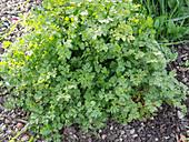 Echter Kerbel , Gartenkerbel (Anthriscus cerefolium)
