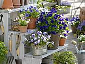 Hornveilchen - Arrangement auf der Frühlings-Terrasse