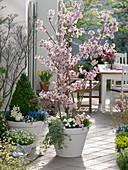 Prunus incisa 'Kojou-no-mai' (Japanische Zierkirsche), Bellis