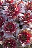 Sempervivum Hybride 'Firebird' (Hauswurz, Dachwurz)