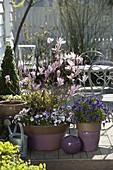 Magnolia 'George Henry Kern' (Magnolie), Viola cornuta (Hornveilchen)