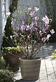 Magnolia 'George Henry Kern' (Magnolie)