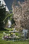Tisch und Stuhl am Frühlingsbeet mit Amelanchier (Felsenbirne), Tiarella