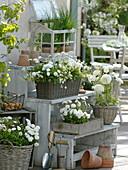 weiße Terrasse mit Bellis (Tausendschön), Saxifraga arendsii 'Schneeteppich'