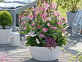 weiße Schale mit Aquilegia 'Spring Magic' (Akelei), Tulipa 'Peach Blossom'