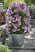 Pelargonium grandiflorum 'Candy' (Edelgeranie) in Zink-Eimer