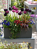 Grauer Lechuza-Kasten mit Tulipa 'Queen of the Night' 'Arabian Mystery'